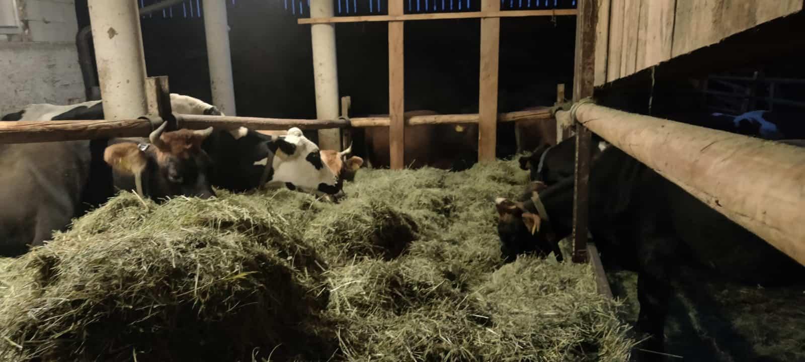 Foto - B2P020 Olga & Markus Voglauer (Biohof Kumer | Bio-kmetija pri Kumru) - Logische Landwirtschaft mit Jersey-Kühen und Direktvermarktung