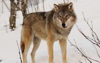 Wolf und Jagdtourismus