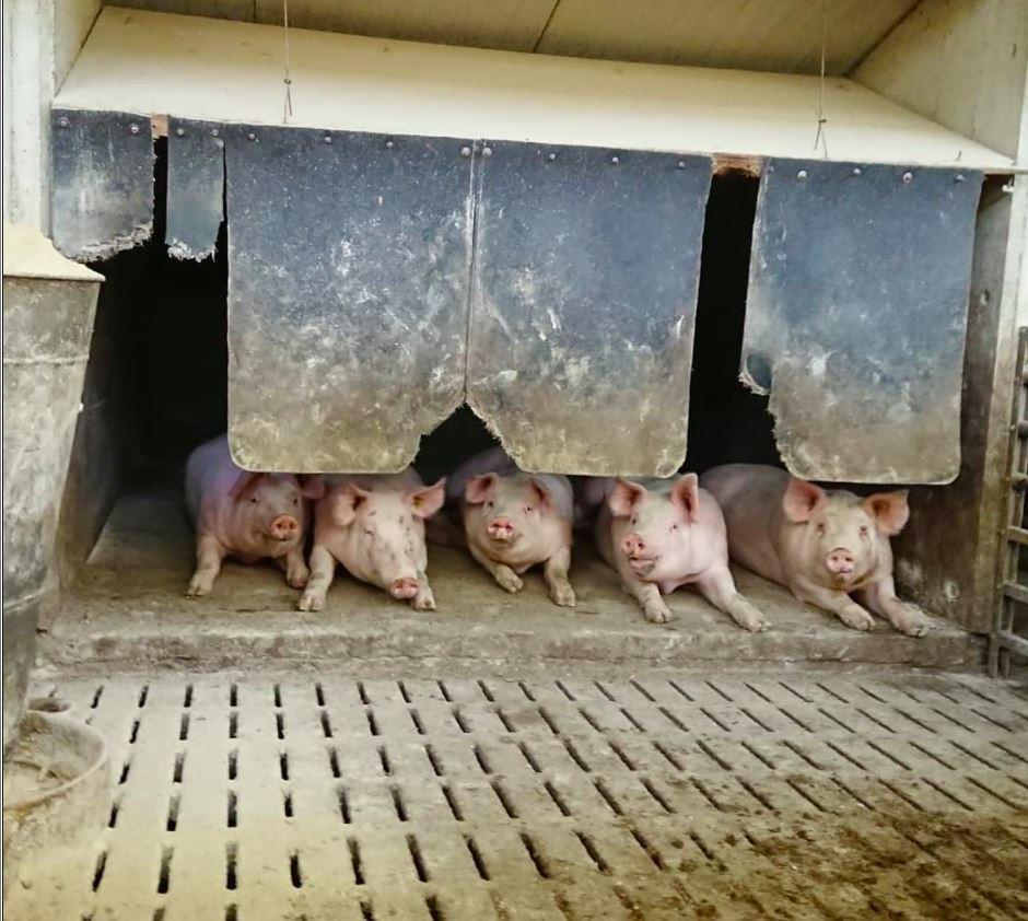 5 Schweine auf einem Teilspaltenboden