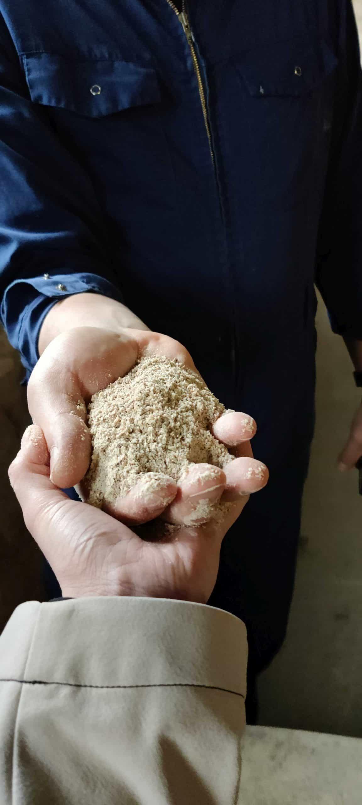 Maissilage in der Hand von Wilhelm Geiger