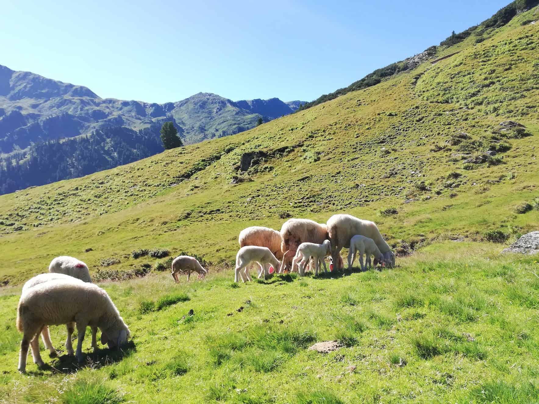 Lämmer und Schafe auf einer Alm in Tirol