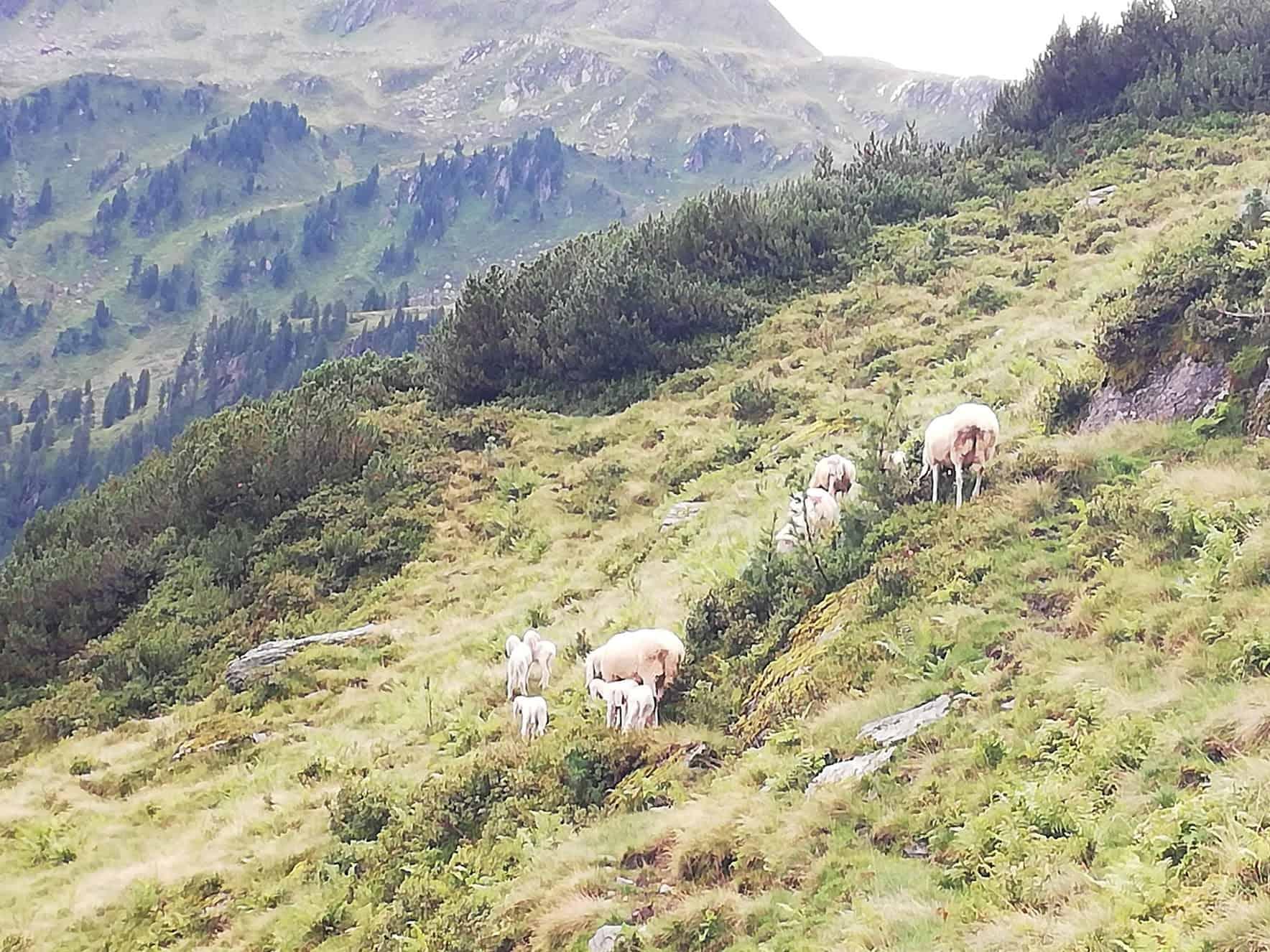 Lämmer und Schafe als Almrasenmäher