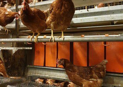 Hühner auf den unterschiedlichen Ebenen und auf Stange der Bodenhaltung