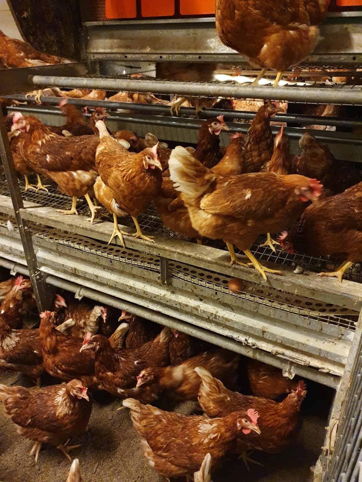 Hühner auf den unterschiedlichen Ebenen der Bodenhaltung bei Schrall Eier