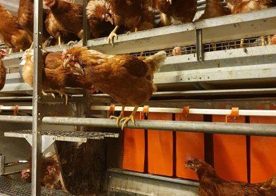 Hühner auf Stange bei Schrall Eier