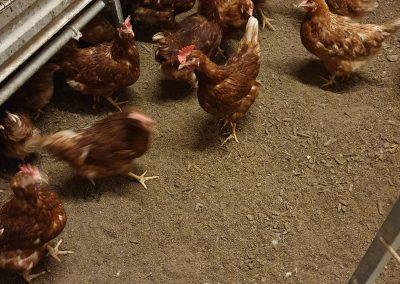 Hühner im Stall bei Bodenhaltung beim Schrall Eier