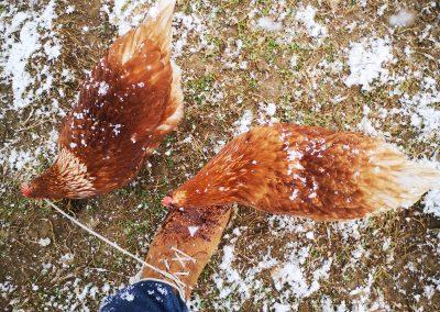 Hühner glauben die Schuhbänder sind Würmer