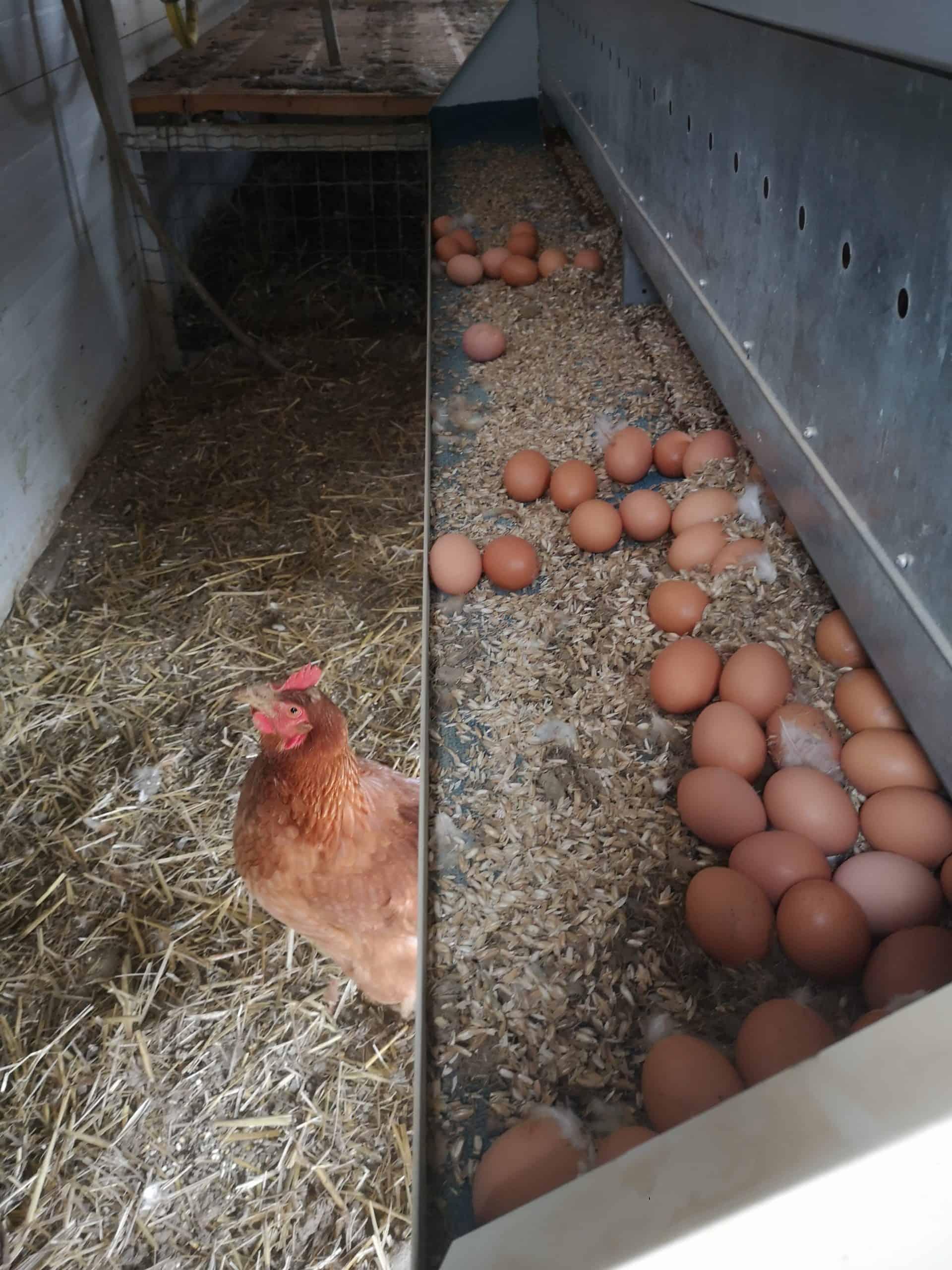 Eierlade zur Entnahme der Eier im Mobilstall