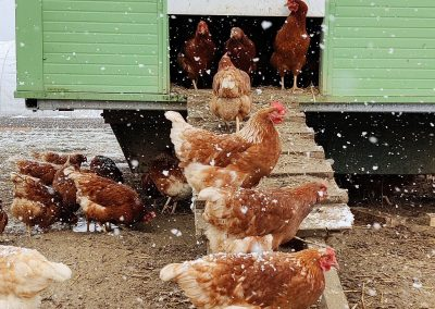 Hühner vor dem Mobilstall beim Gredlbauer