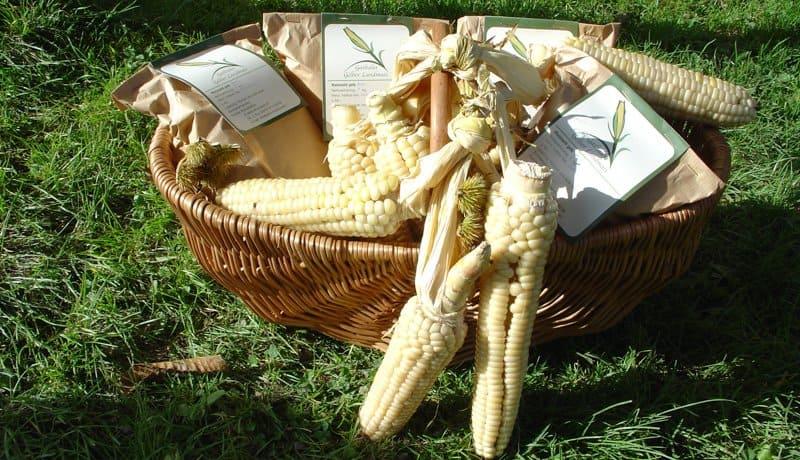 Polenta in Korb präsentiert mit Maiskolben im Vordergrund