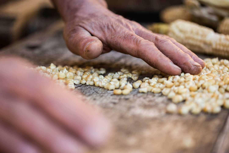 Kornauslese als wichtiger Teil der Qualitätssicherung beim Landmais