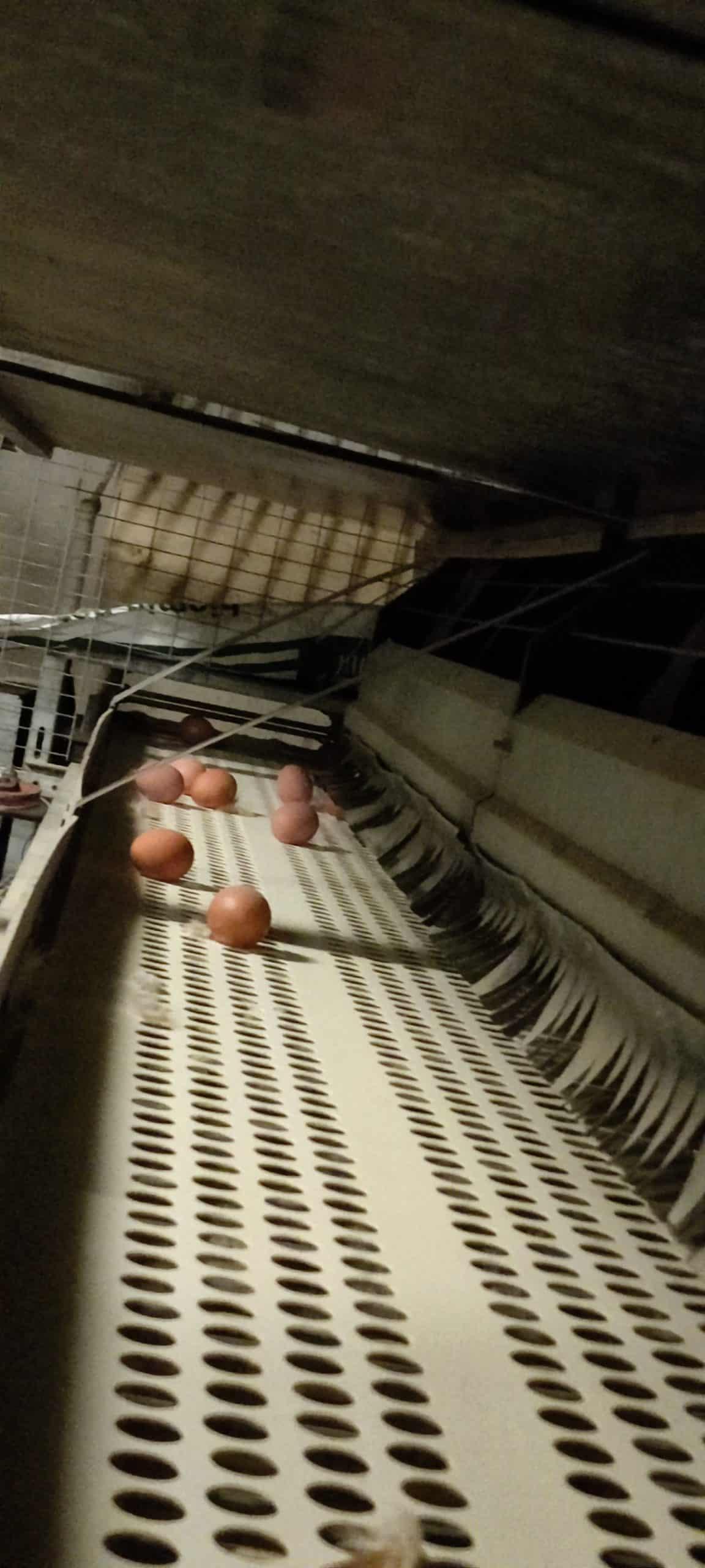 Abrollband der Eier hinter den Legebereichen