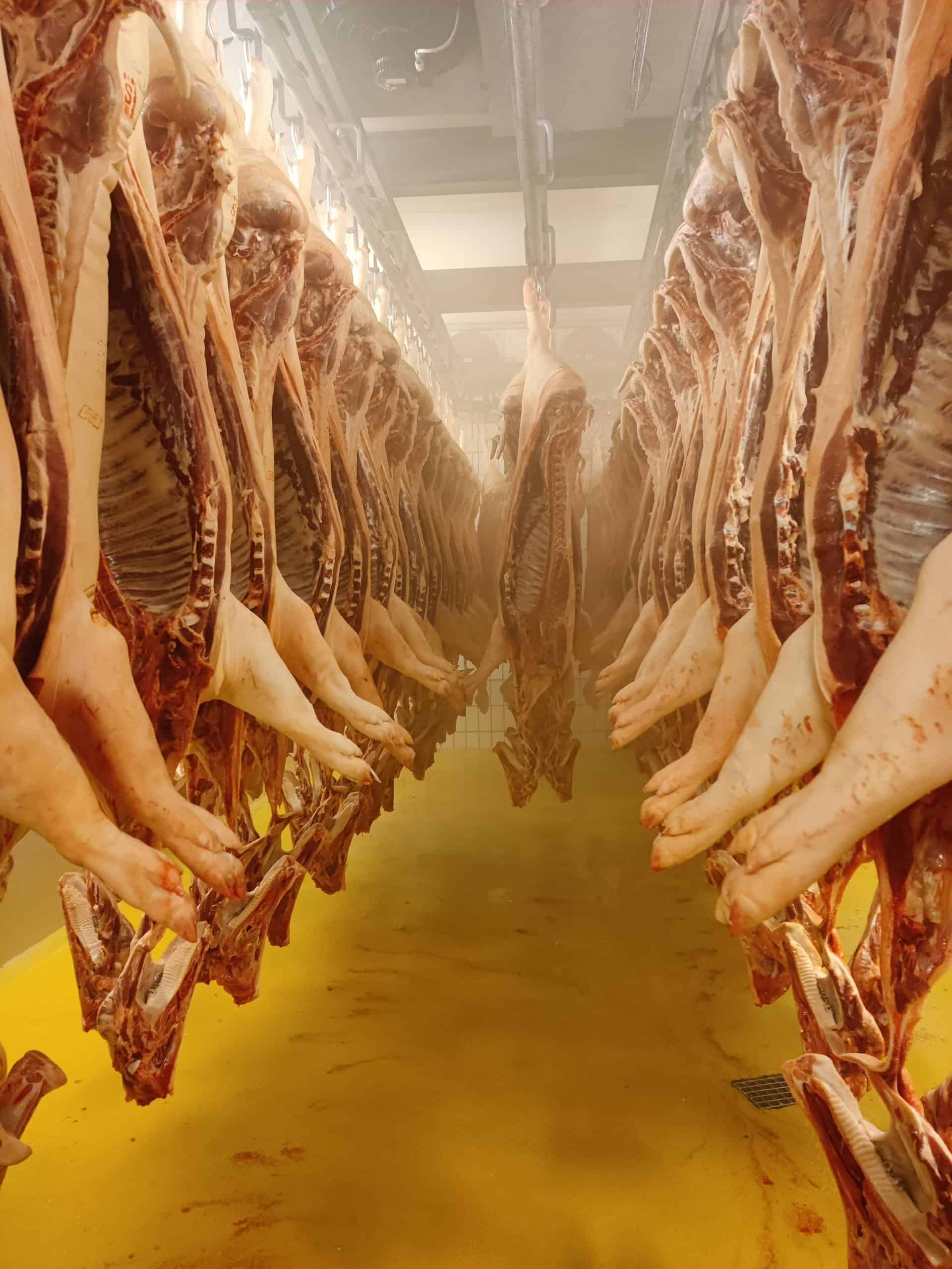 Auskühlraum Schlachtung mit hängenden Schweinehälften bei Berger Schinken